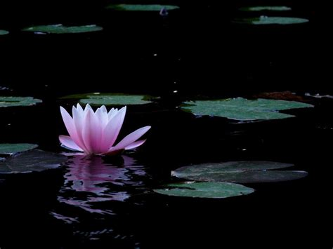 imagenes zen con flor de loto lotus flower wallpapers wallpaper cave