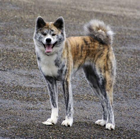 akita inu puppies akita inu billeder og beskrivelse af akita inu spidshund