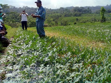 bidang pertanian tehnik budidaya semangka