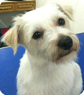 fox terrier and shih tzu mix quot barley quot adopted seattle wa shih tzu wirehaired fox terrier mix