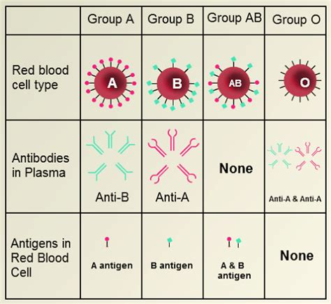 Blood Types And Transfusions Worksheet by Explainer What Are Blood Groups And Why Do They Matter
