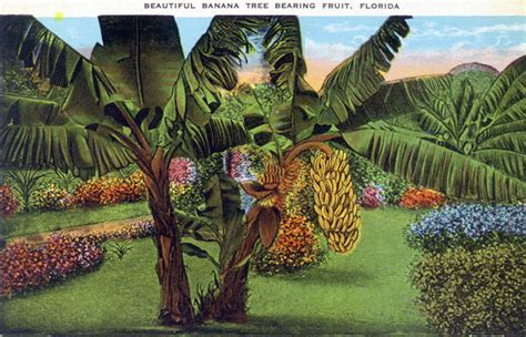 how before a banana tree bears fruit florida memory beautiful banana tree bearing fruit