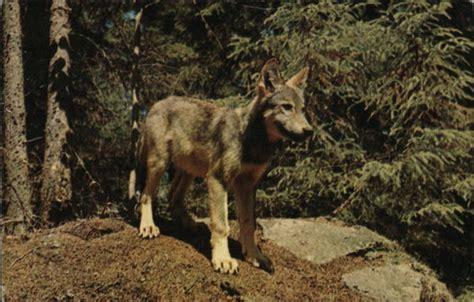 Wawa E Gift Card - timber wolf pup other animals postcard