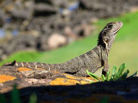 wallpaper echse desktop background picture lizard