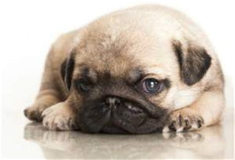 how much is pug puppy pug price how much a pug puppy costs and why
