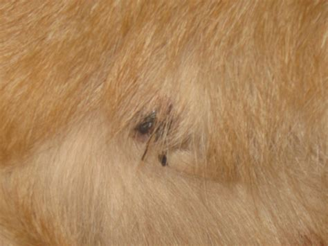 lumps on dogs skin my shih tzu has a bump on his help images frompo