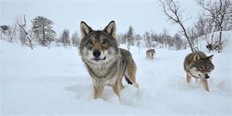 wolves in ski resorts cool ski