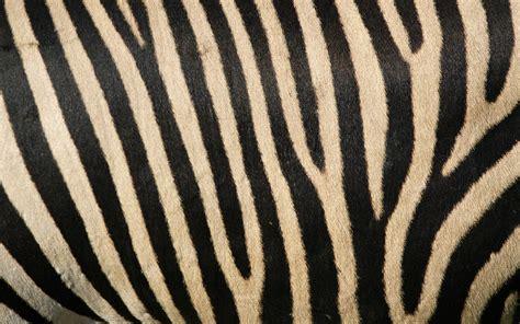 Zebra Twitter Backgrounds wallpaper - 160634
