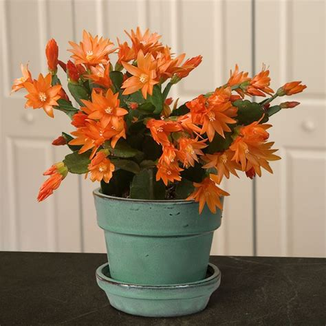 orange easter cactus colomba easter cactus  sale