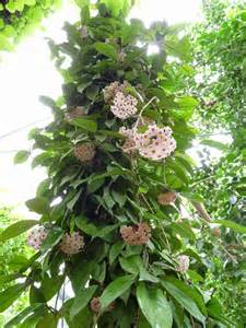 Hoya carnosa wax plant world of succulents
