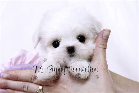 puppy connection ms puppy connection puppies for sale