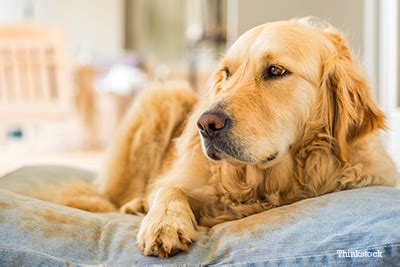 golden retriever kidney failure prevention signs and treatment of acute renal failure and kidney diseases in dogs