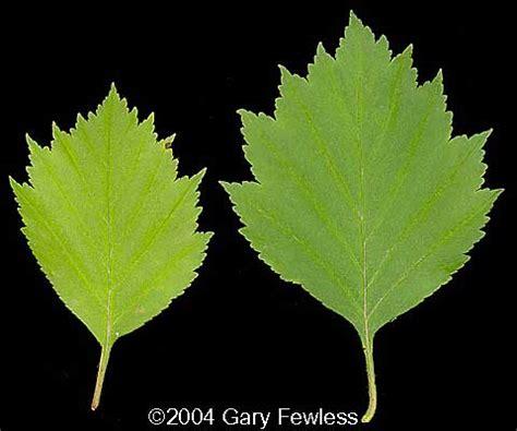 trees  wisconsin crataegus chrysocarpa fireberry hawthorn