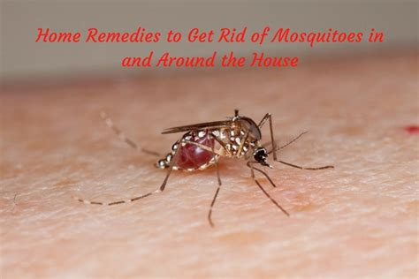 how to get rid of mosquitoes with home remedies how to home remedies to get rid of mosquitoes in and around the house