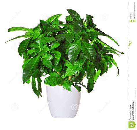 gardenia in vaso germoglio di gardenia una pianta in vaso isolata sopra