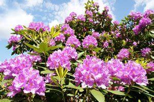 Rhododendron Vermehren by Rhododendron Vermehren So Wird S Gemacht
