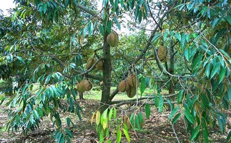 Bibit Tanaman Mangga Bun Bandar by Pokok Durian Musang King Malaysia Plant Nursery