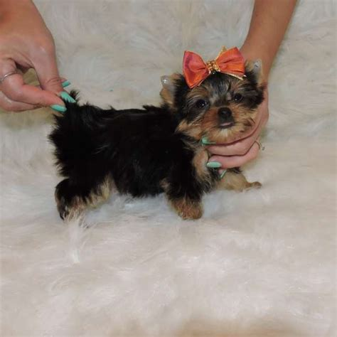 miniature teacup yorkies yorkie after breeds picture