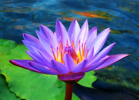 lotus flower white lotus flowers beautiful images beautiful black and