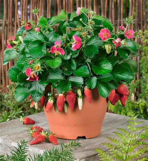 How To Plant Strawberries In A Strawberry Planter by Loran And Tristan Strawberries Two Terrific New Varieties
