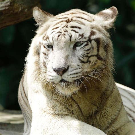 White Zoo white tiger pictures impremedia net