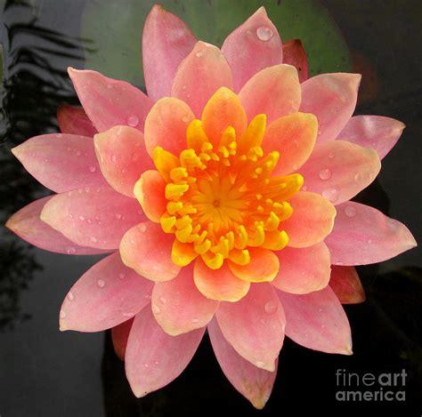 lotus bloom image gallery lotus bloom