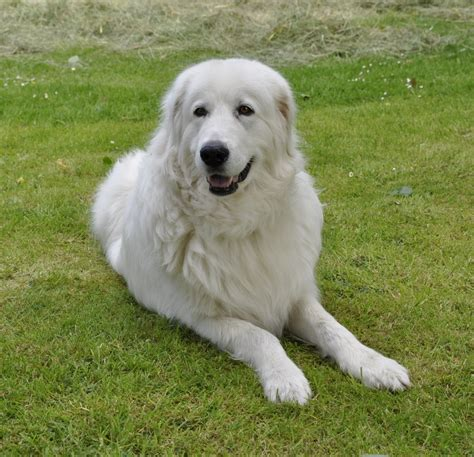 maremma puppy maremma sheepdog on the grass photo and wallpaper beautiful maremma sheepdog