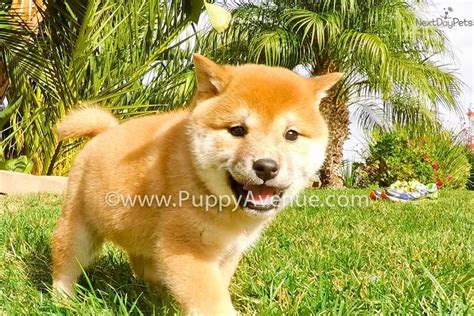 shiba inu puppies for sale california suzuki shiba inu puppy for sale near san diego california 53d88bf8 9671