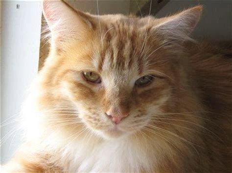 maine coon kittens bay area san francisco bay area pet adoptions and wildlife classes