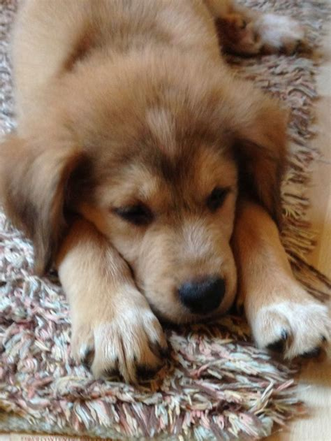 german shepherd australian shepherd mix puppies lab husky german shepherd australian shepherd mix adorable shamelessly putting my