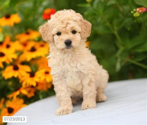 mini goldendoodle puppies mini goldendoodle puppy for sale goldendoodles