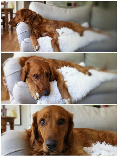 golden retriever rescue adoption of needy dogs today s guest plain fancy living decor and the