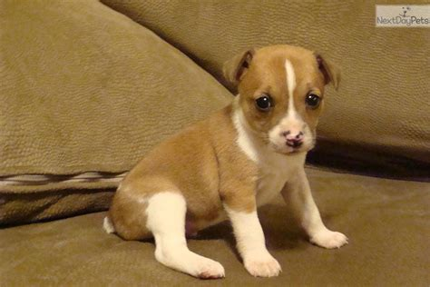 pomeranian rat terrier mix puppies for sale rat terrier mix puppies for sale images