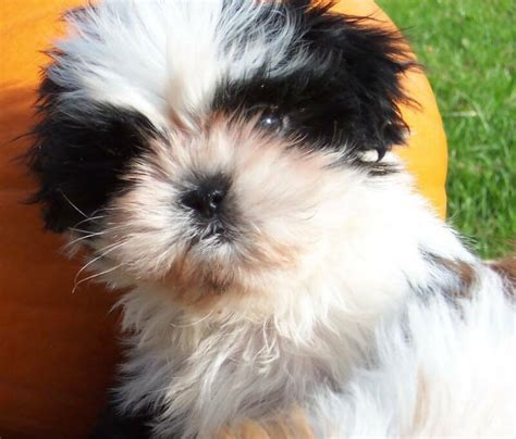 Shih Tzu Shedding Problems by Shih Poo Puppies Eagle Cross Kennel