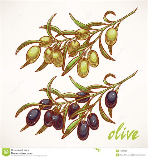 Two With Olive two olive tree branches stock vector image 47301290