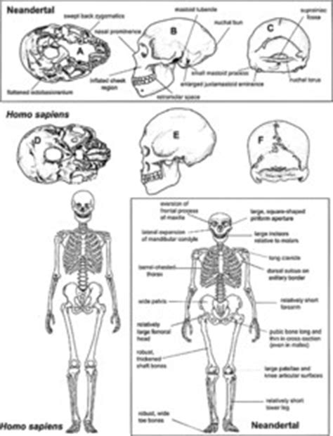 Hominid Evolution - Oxford Reference