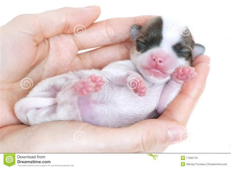 chihuahua puppies indiana tiny newborn chihuahua puppy in the palms royalty free stock images image 17085779