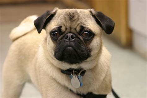 why were pugs bred 40 adorable pictures of pug dogs and fur