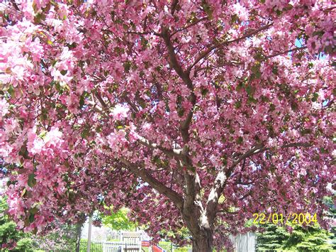 cherry blossom tree facts can anyone tell me what tree this is yahoo answers