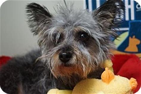 yorkie house tn 154 best images about yorkies who needs a home on gilbert o sullivan