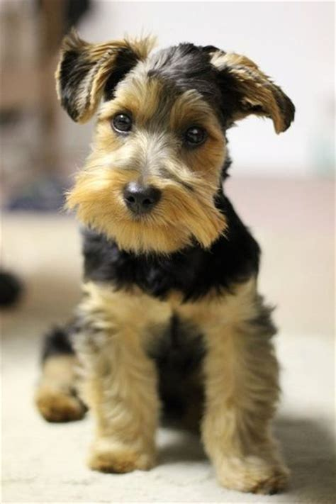 yorkie mixed with schnauzer 25 best ideas about schnauzer mix on miniature schnauzer mini schnoodle