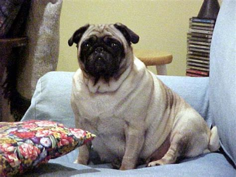 worlds fattest pug pics image gallery largest pug