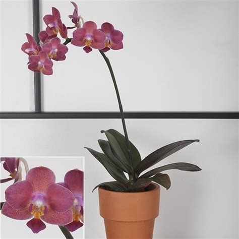 moth orchid cupid phalaenopsis hybrid orchids orchids orchids pinterest moth