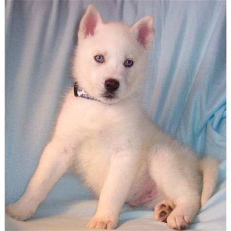 white husky puppies white boxers puppies breeds picture