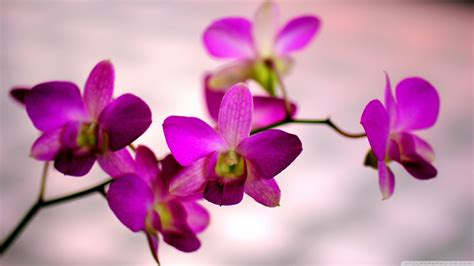 orchid color ultra hd desktop background wallpaper