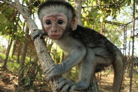 nicko the tale of a vervet monkey on an farm books volunteering in africa photos news and tips when