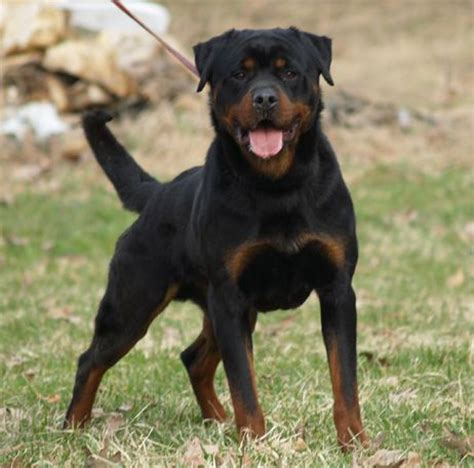 types of rottweilers rotweiler definitely the type of i m getting animals hercules