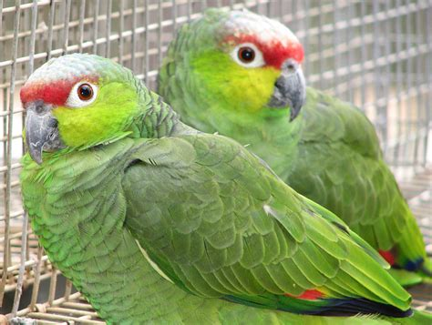 amazon parrot lilacine amazon from priam parrot breeding