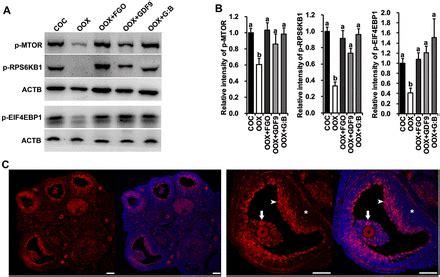 oocyte dependent activation  mtor  cumulus cells