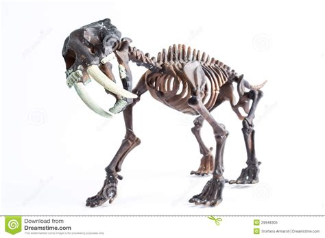 saber toothed tiger royalty free stock photo image 29948305